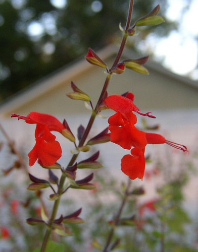 salvia multiple blossom crop