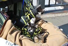 Kittens (thoth1618) Tags: nyc newyorkcity costumes dog pet pets ny newyork halloween animal animals brooklyn costume october brooklynheights brooklynheightspromenade parade promenade gothamist halloweenparade 2010 howloween brooklynpromenade brooklynny dogparade dogcostumes dogcostume dogincostume brooklynusa muttsquerade petsincostume dogincostumes brooklynheightsblog 103010 petincostume animalsincostumes animalincostume halloween2010 october302010 perfectpawsinc the8thannualhowloweenmuttsqueradeparade