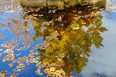 ESCRITO CON LUZ EN EL ESPEJO DEL AGUA .... (marthinotf) Tags: agua nikon otoño estanque reflejos lagranja hojassecas olétusfotos
