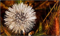 Rayos de luz (Fotgrafo-robby25) Tags: macrofotografa canoneos5d canonef180mm floresyplantas dientedelentaraxacumofficinale