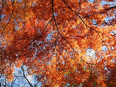 Starry, starry day.... (langkawi) Tags: autumn orange tree berlin fall colors ilovenature maple herbst natur arboretum langkawi herbstlaub zweige naturesfinest 2011 herbstfarben fächerahorn späthsches