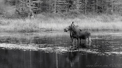 Moose, Algonquin Provincial Park, Ontario, Canada 2010 (larkvi) Tags: blackandwhite ontario canada monochrome animal pond moose algonquin marsh calf northernontario winslow algonquinprovincialpark algonquinpp larkvi seanwinslow larkvicom wwwlarkvicom labordayweekend2010