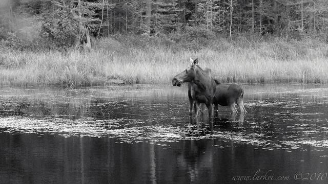 Moose, Algonquin Provincial Park, 2010
