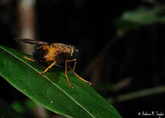 Furry fly (Andrew Snyder Photography) Tags: wild nature nikon wildlife conservation honduras science research jungle cloudforest biology centralamerica invert entomology operationwallacea opwall montanecloudforest andrewsnyder cusuconationalpark asnyder5 andrewmsnyder cusuconationalpar