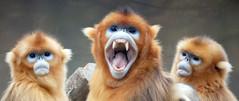 Golden snub nosed monkey (floridapfe) Tags: animal zoo monkey golden nikon group korea everland nosed snub goldensnubnosedmonkey