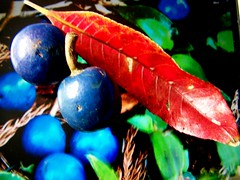 Elaeocarpus grandis (YAZMDG (16,000 images)) Tags: blue fruit berry rainforest australia nsw yaz bluefig hinterland grandis magnoliophyta magnoliopsida bushfood quandong bluemarbletree elaeocarpaceae elaeocarpus bluequandong elaeocarpusgrandis arfp goonengerry australianrainforestplants nswrfp qrfp arfbtp arffs northernriversspecies bluearffs tropicalarf subtropicalarf oxalidades yazmdgyazminamicheledegaye