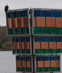 Bald eagle on Lake Washington - detail