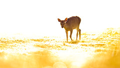 come into my dream (andrew evans.) Tags: lighting morning autumn light england sun white nature fairytale forest sunrise golden countryside kent nikon bokeh wildlife deer ethereal flare wonderland storybook magical f28 enchanted d3 400mm