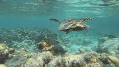 Swimming with a Turtle... Nuotando con una tartaruga (Landersz) Tags: ocean house coral canon island underwater nemo turtle earth save resort snorkeling turtles orchestra 7d hd reef cinematic maldives atoll maldive filitheyo melilli faafu landersz nimar