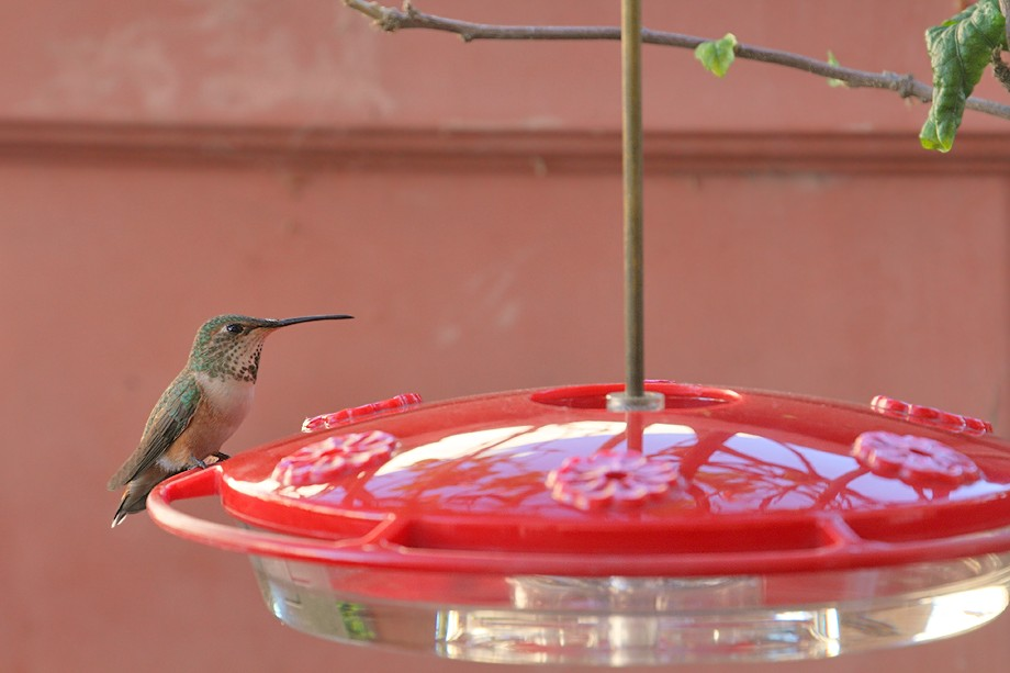 Allen's Hummingbird 111410