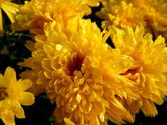 Rugiada 3 (renagrisa) Tags: flowers flower macro fall nature fleur closeup fleurs shot fiori 1001nights potofgold blueribbonwinner simplyflowers floralfantasy abigfave nikonclub anawesomeshot colorphotoaward mycameraneverlies oftheflower coolpixs50 brillianteyejewel betterthangood theperfectphotographer marvelsnote macroflowerlovers top20flowerswithbugs natureselegantshots thepoweroftheflower rubyphotographer auniverseofflowers lefotopiùbelledelmondo mondomacro flickrflorescloseupmacros artofimages dragonsdanger