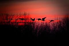 _MG_3744 (shadarington) Tags: sunset bird nature geese wildlife waterfowl
