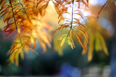 ラクウショウ   Taxodium distichum (myu-myu) Tags: autumn tree nature japan leaf nikon bokeh 落羽松 taxodiumdistichum anawesomeshot d700 citrit voigtlandernokton58mmf14slii ラクウショウ