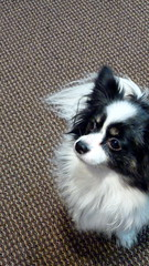Griffin the Papillon (Angie Naron) Tags: dog canine papillon mansbestfriend griffin womansbestfriend continentaltoyspaniel butterflydog photobyangienaron