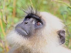 Monkey ...[Canon 1000D XS REBEL] [ Canon 70 200 F4] [Kenko 1.4X TC] (Mayur Kotlikar) Tags: canon rebel 14 200 tc l xs 70 f4 kenko 1000d