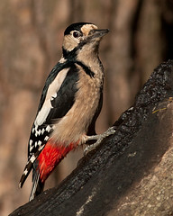 Great spotted woodpecker (Stuart G Wright Photography) Tags: bird birds woodpecker great spotted
