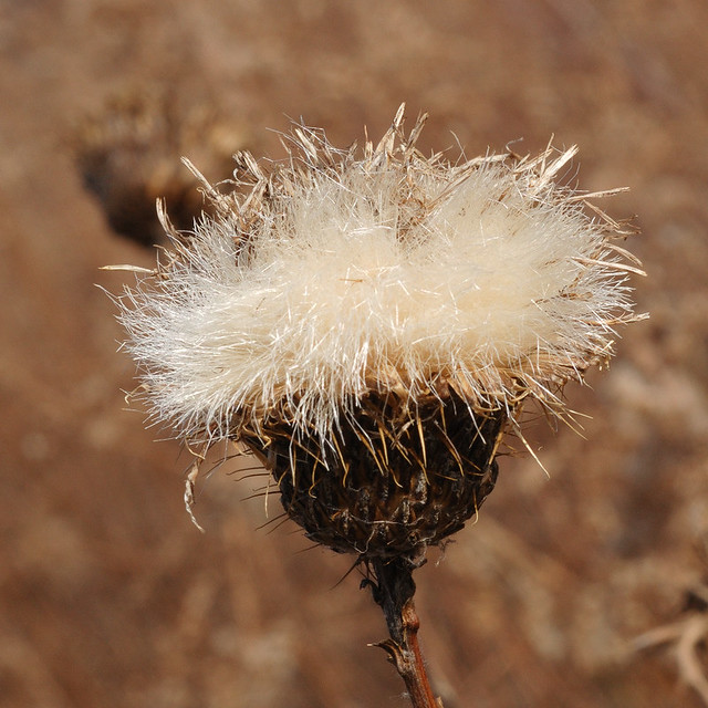 Broemmelsiek Park, in Saint Charles County, Missouri, USA - seed head with white strands