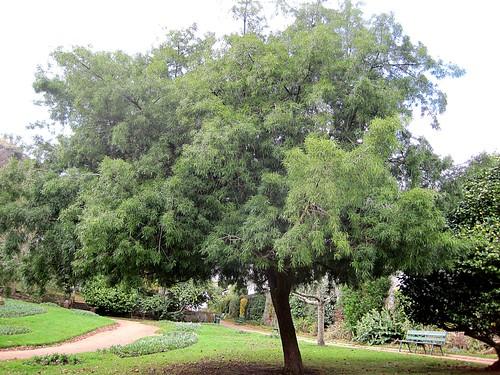 podocarpus1