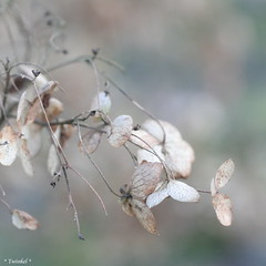 All good things come to an end (*Twinkel*'s photostream) Tags: dof autum herfst hydrangea hortensia justcropped