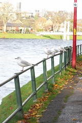 inverness (acinorev79) Tags: scotland seagull fiume gabbiani inverness riverness scozia