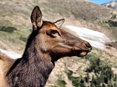 Wild Female Elk (saxonfenken) Tags: female mammal colorado dof close profile superhero winner rockymountains elk thumbsup bigmomma gamewinner 6994 challengeyou challengeyouwinner animaldeer friendlychallenges thechallengefactory yourock1st herowinner storybookwinner pregamewinner pregamesweepwinner pregameduelwinner 6994animal