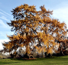 AUTUMN GOLD (n.j.coomber) Tags: autumn trees england fall gold larches stalbans verulamium arboreal apictureofbritain autumngold
