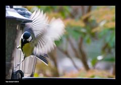 Slipping Off (Tony Emmett) Tags: france bird birds garden tit wildlife sony alpha greattit a700 sonyalpha sonyalpha700 minoltaamount sigma150500mmf563dgoshsm