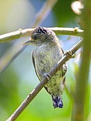 IMG_1578_fine barred piculet (joel n rosenthal) Tags: fbwnewbird fbwadded picumnussubtilis finebarredpiculet