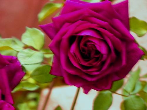 The Prince DA rose 001