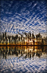 Reeds on the Darenth (adrians_art) Tags: plants water sunrise reflections river reeds grasses mackerelsky