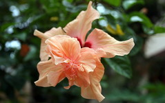 dead (Partha) Tags: flower canon hibiscus rare partha pratim chowdhury parthapratimchowdhury parthachowdhuryphotography