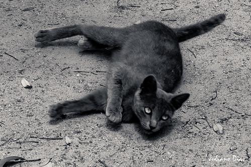 Gato do Castelo