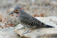 Northern Flicker (HowardCheekPhotography.com) Tags: nature birds canon photography texas cheek howard wildlife woodpeckers northern flicker colaptes auratus picidae buzznbugs photocontesttnc11