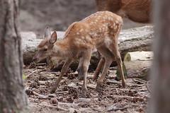Faon (philph0t0) Tags: cervuselaphus cerf élaphe cervus deer cerfélaphe faon fawn