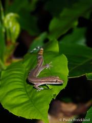 Madagascar Clawless Gecko - Ebenavia inunguis (paulajie) Tags: madagascar nature wildlife animal photography ebenavia inunguis clawless gecko nosy komba be reptile lizard olympus omd micro 43 fauna em10 mark ii