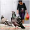 Bird feeder - 1100443 (willfire) Tags: willfire singapore bird feather hdb pigeon aunty leftover bread crumbs feeder