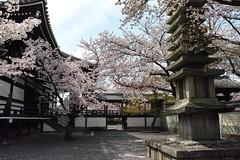 DP1M2790 (bethom33) Tags: sigma dp1merrill dp1 merrill kyoto temple myokenji sakura japan