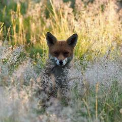 Red Fox (Tim Gardner pics) Tags: