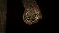 crab on a stick (dustaway) Tags: arthropoda arachnida araneae araneomorphae thomisidae stephanopinae stephanopis barkcrabspider australianspiders rotarypark rainforest lismore northernrivers nsw nature araignee spinne natur