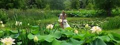 Who would not like the lotus bloom ;-)? (langkawi) Tags: nelumbonucifera