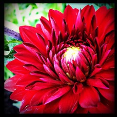 Dahlia. #takoma #dc #dclife #washingtondc #iPhone365 #iPhone7plus #iPhone #iPhonemacro #macro  #flower #flowersofinstagram #red (Kindle Girl) Tags: iphone red takoma dc dclife washingtondc iphone365 iphone7plus iphonemacro macro flower flowersofinstagram