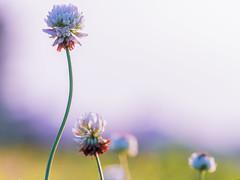 Little Flower (hixar) Tags: japan 日本 シロツメクサ clover little flower hana 花 小さい 可愛い cute