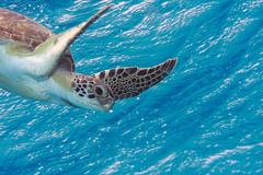 Green Turtle_Between Tori's and Salt Pier_Bonaire_June 2017 2 (R13X) Tags: bonaire underwaterphotography underwatermacrophotography scubadiving diving denlaman dutchcaribbean dutchislands shorediving nikon nikon105mm nikon60mm d7200 greenturtle turtle barireef somethingspecial saltpier torisreef