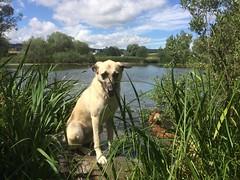 Tansy at Lake (citydogs4streetdogs) Tags: tansy adopted