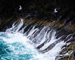 I smell the sea and hear the screaming of the gulls. (karo.perez73) Tags: tiere möwen meer brandung basalt island vogel bird