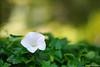 Lonely Flower in the Bed of Ivy (Jon Schusteritsch) Tags: morning summer plant ny flower whiteflower nikon dof bokeh july ivy longisland primelens d700 nikkor135mmf2dc