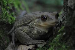 blurry toad (Mikyatope) Tags: nature natura toad catalunya montseny gripau