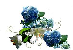 hydrangea fancy