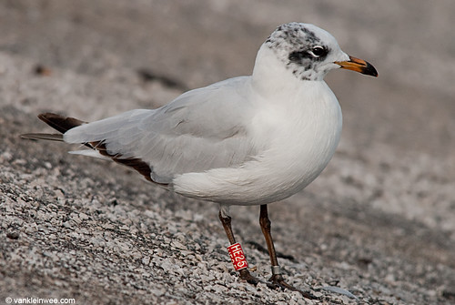 Mediterranean Gull, 2cy, R[HE25]