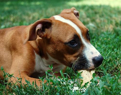 Adopt Kitzma, the pit bull mix!